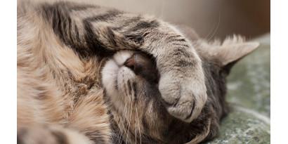 Блохи у котика: способы профилактики и лечения